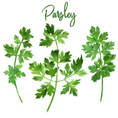 Fototapeta Przyprawy Parsley, watercolour illustration
