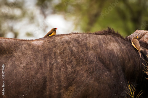 Fotografering  Yellow-billed oxpecker African bird perching on tick infested Cape Buffalo at Serengeti, Africa