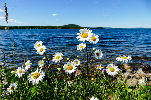 Spoed Foto op Canvas Madeliefjes flowers on the beach, in Sweden Scandinavia North Europe