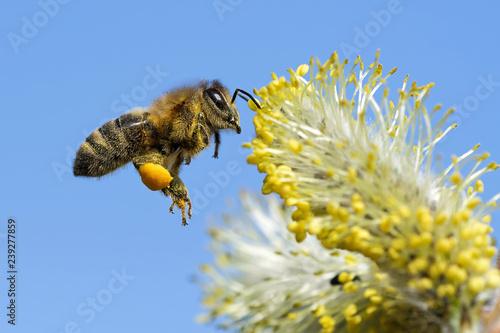 Biene fliegt ans Weidenkätzchen