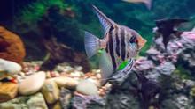 Freshwater Aquarium Fish (Pter...