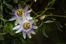 Macro Photo Of Alient Exotic Flower Passiflora Incarnata In Botanical Garden