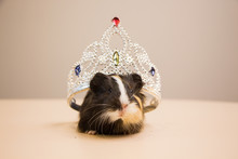Funny And Cute Guinea Pig With The Silver Diadem