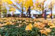 明治神宮外苑のイチョウの落葉