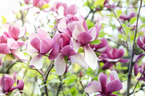 Obraz Piękne drzewo magnolii kwitnie na wiosnę - fototapety do salonu