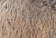 Animal Skins Texture Of Camel