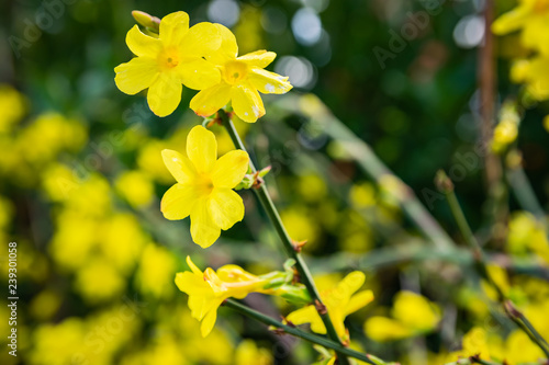 Photo  Gardening, cultivation and care of aromatic plants concept: view of winter flowers of yellow jasmine