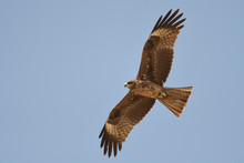 Silhouette Of A Bird Of Prey In Flight. Black Kite / Milvus Migrans