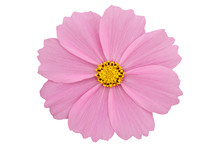 Beautiful Pink Cosmos Flower I...