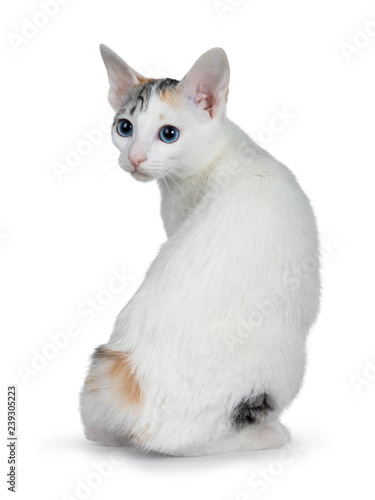 Photo  Cute silver patterned shorthair Japanese Bobtail cat kitten sitting backwards, looking over shoulder at lens with blue eyes