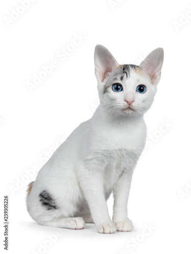 Photo  Cute silver patterned shorthair Japanese Bobtail cat kitten sitting half side ways, looking at lens with blue eyes