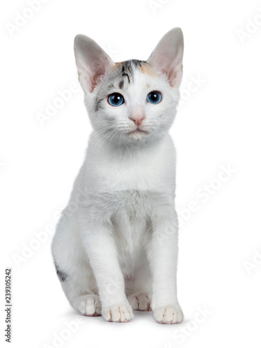 Photo  Cute silver patterned shorthair Japanese Bobtail cat kitten sitting front view, looking at lens with blue eyes