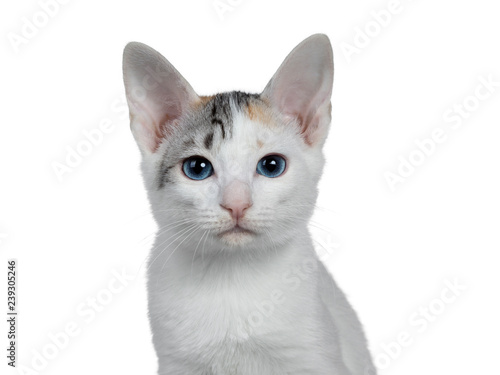 Photo  Head shot of cute silver patterned shorthair Japanese Bobtail cat kitten, looking at camera with blue eyes