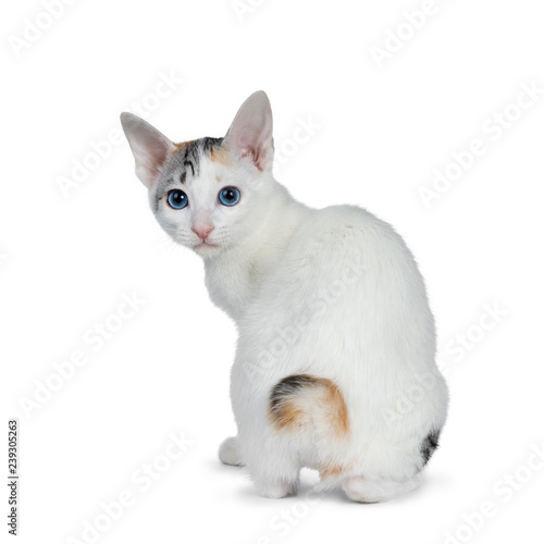 Cute silver patterned shorthair Japanese Bobtail cat kitten sitting backwards, looking over shoulder at lens with blue eyes Canvas-taulu