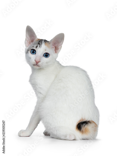 Valokuva Cute silver patterned shorthair Japanese Bobtail cat kitten sitting half backwards, looking over shoulder at lens with blue eyes