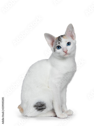 Photo  Cute silver patterned shorthair Japanese Bobtail cat kitten sitting side ways, looking at lens with blue eyes
