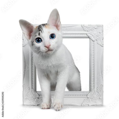 Photo  Cute silver patterned shorthair Japanese Bobtail cat kitten standing through a white photo frame, looking at camera with blue eyes