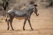 Grevy zebra in the dry Samburu National Park in Kenya