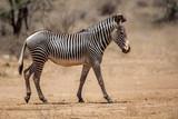 Fototapeta Fototapeta z zebrą - Grevy zebra in the dry Samburu National Park in Kenya