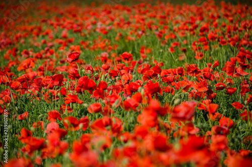 Fototapeta field of red poppies obraz na płótnie