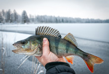 Ice Fishing Trophy - European Perch