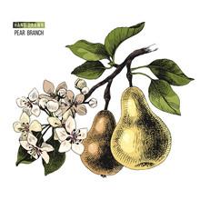 Hand Drawn Pear Branch