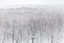 Aerial View Of Oak Trees In Forest In Snowfall