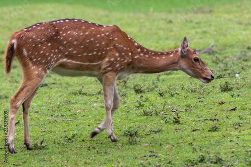 Fotografie, Obraz  deer in natural habitat walking on the green grass