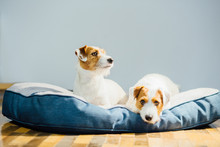 Couple Of Two Jack Russel Terrier Dog Relaxing On Dog Bed Together At Home.