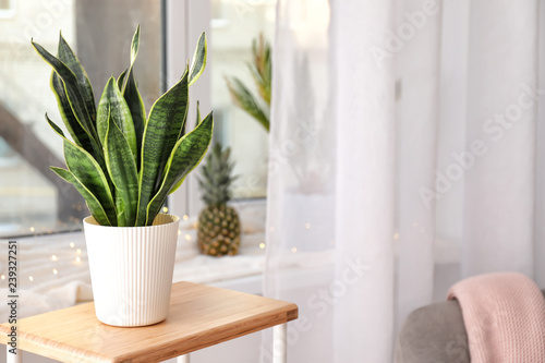 Vegetal Decorative sansevieria plant on wooden table in room