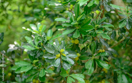 Photo green  fresh bayberry fruit on the branch of tree in agriculture garden