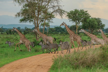 Long Neck Spotted Giraffes In ...
