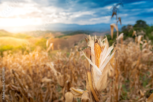 Dry cron in the corn fields, in high mountains area, ready