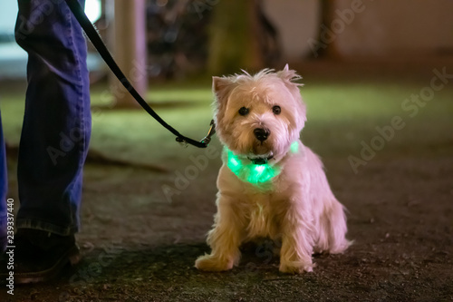 Foto  Little white dog, West HIghland White Terrier  sitting in the dark and wearing a
