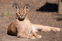 Caracal Wild Cat Posing For Th...