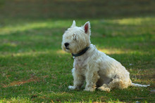 Cute White Scotch Terrier Sitting On A Green Grass In The Park
