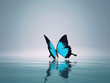 A blue butterfly on sea.