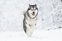 Alaskan Malamute Dog On A Wint...