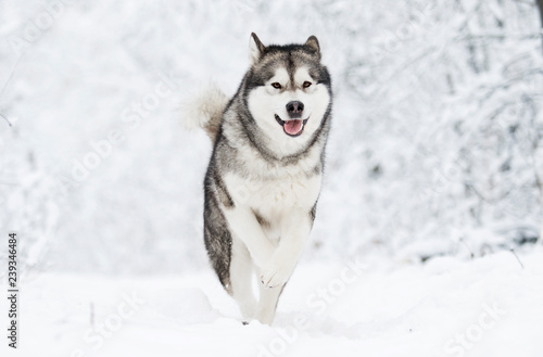 Photo Alaskan Malamute dog on a winter walk in the snow