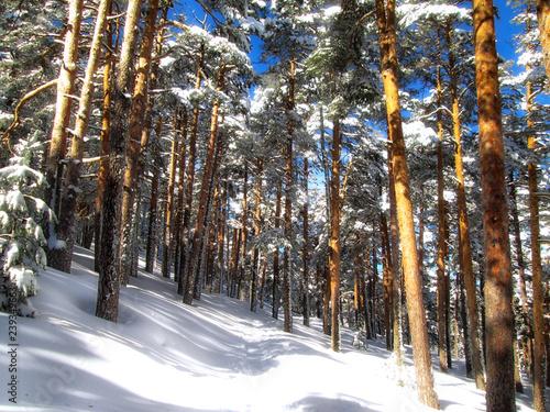 Paisaje invernal. Nieve en el bosque en un dia soleado