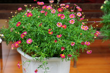 Beautiful Pink White Yellow Daisy With Green Leaves Inside A Pot Flower Floral Wallpaper Blurred Background Botanic Garden