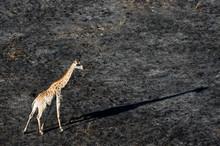 An Aerial View Of A Giraffe (G...