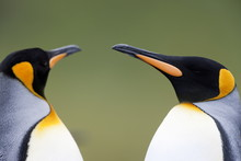 King Penguin (Aptenodytes Pata...