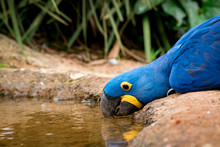 Hyacinth Macaw Is Drinking Wat...