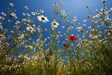 Flowering Meadow, Padua Province, Veneto, Italy