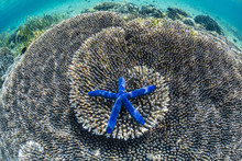 Sea Star Underwater On Komodo Island, National Park, Indonesia