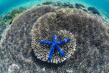 Sea Star Underwater On Komodo Island, National Park, Indonesia