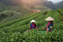 Hmong People Are Harvesting Tea Leaves In Green Tea Plantation At Morning Time Chiang Mai Province Thailand
