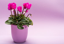 One Pink Cyclamen Plant With F...