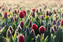 Close Up Of Red Tulips In Bloom In The Countryside Of Berkmeer Municipality Of Koggenland North Holland The Netherlands Europe